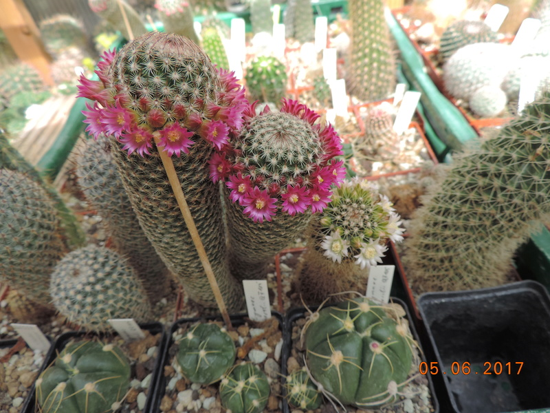 Cacti and Sukkulent in Köln, every day new flowers in the greenhouse Part 165 Bild1032