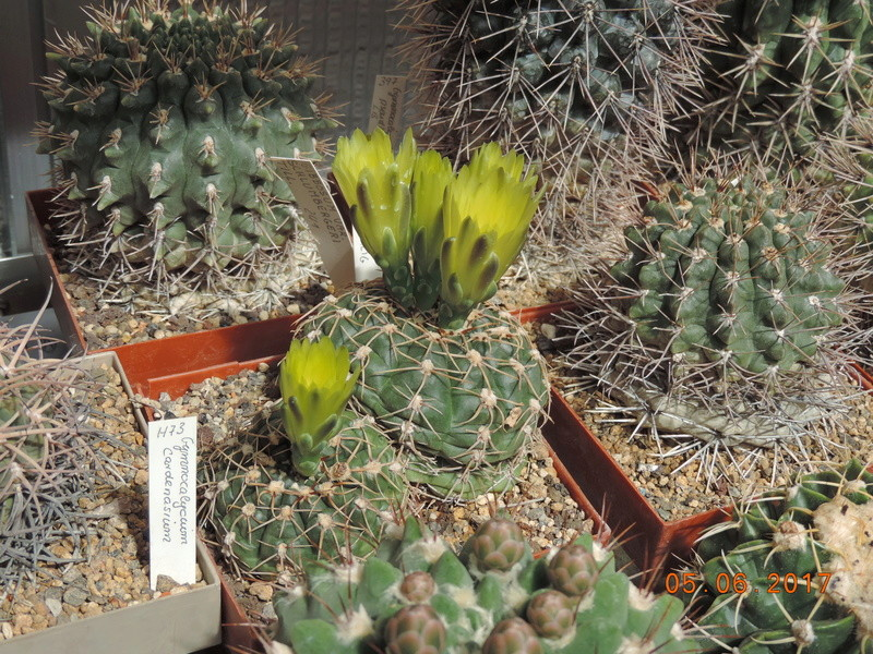 Cacti and Sukkulent in Köln, every day new flowers in the greenhouse Part 165 Bild1033
