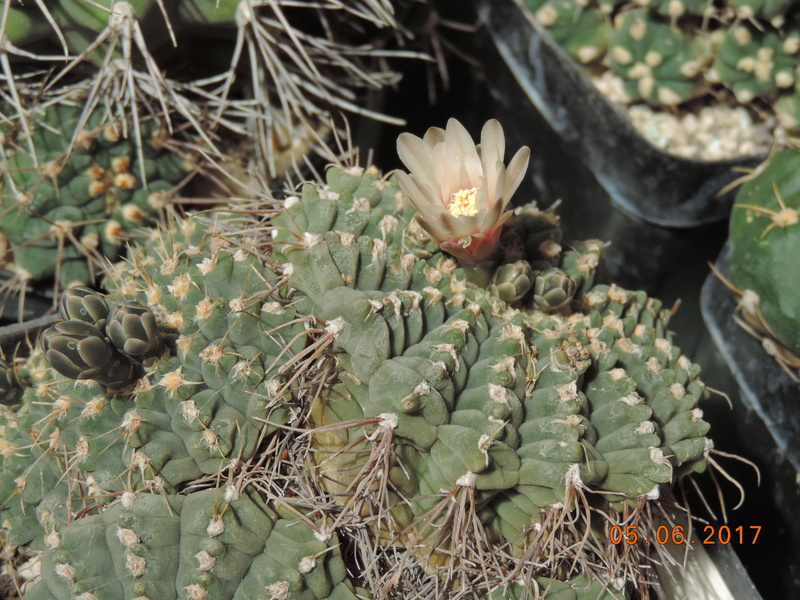 Cacti and Sukkulent in Köln, every day new flowers in the greenhouse Part 165 Bild1038