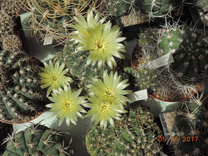 Cacti and Sukkulent in Köln, every day new flowers in the greenhouse Part 165 Bild1040