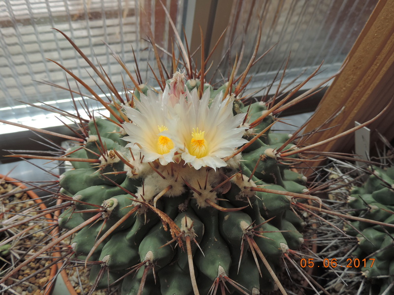 Cacti and Sukkulent in Köln, every day new flowers in the greenhouse Part 165 Bild1044