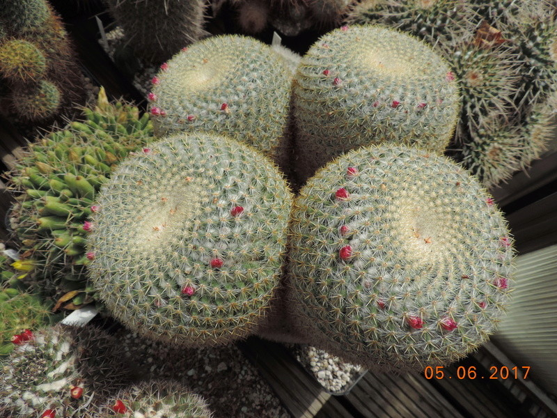 Cacti and Sukkulent in Köln, every day new flowers in the greenhouse Part 165 Bild1050