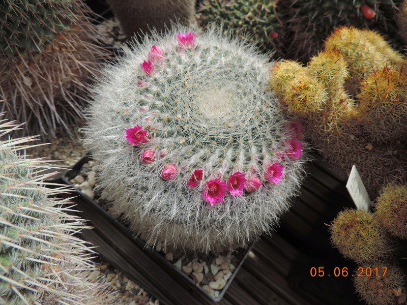 Cacti and Sukkulent in Köln, every day new flowers in the greenhouse Part 165 Bild1051
