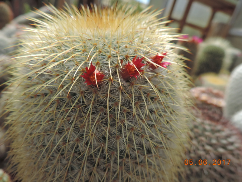 Cacti and Sukkulent in Köln, every day new flowers in the greenhouse Part 165 Bild1052