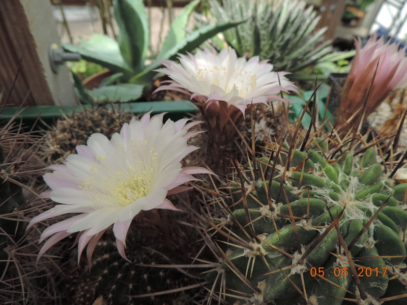 Cacti and Sukkulent in Köln, every day new flowers in the greenhouse Part 165 Bild1053