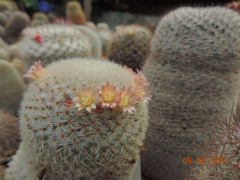 Cacti and Sukkulent in Köln, every day new flowers in the greenhouse Part 165 Bild1061