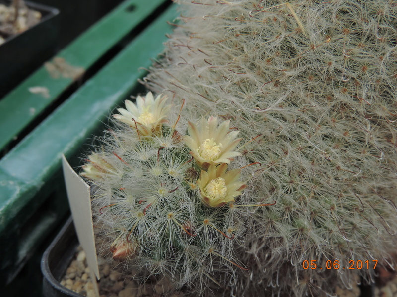 Cacti and Sukkulent in Köln, every day new flowers in the greenhouse Part 165 Bild1064