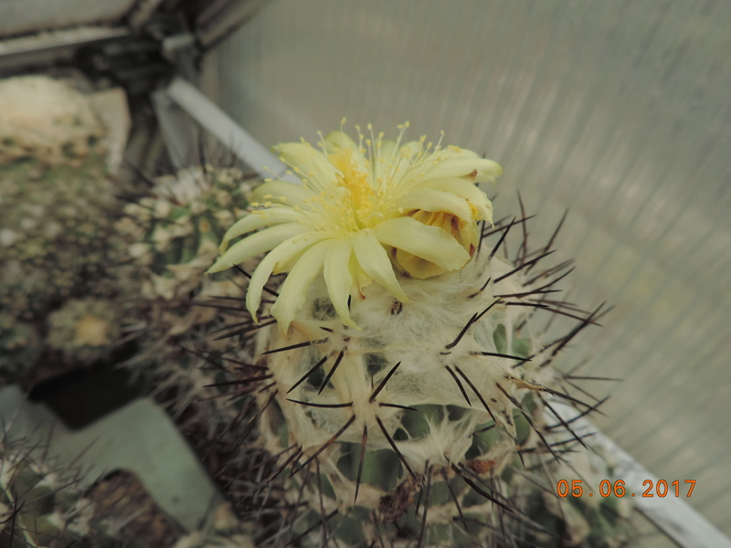 Cacti and Sukkulent in Köln, every day new flowers in the greenhouse Part 165 Bild1067