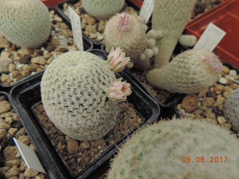 Cacti and Sukkulent in Köln, every day new flowers in the greenhouse Part 165 Bild1072