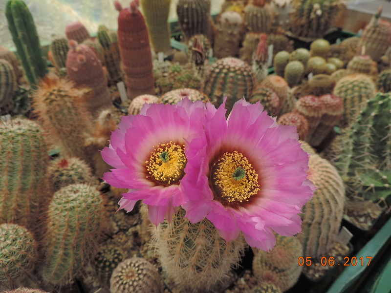 Cacti and Sukkulent in Köln, every day new flowers in the greenhouse Part 165 Bild1074