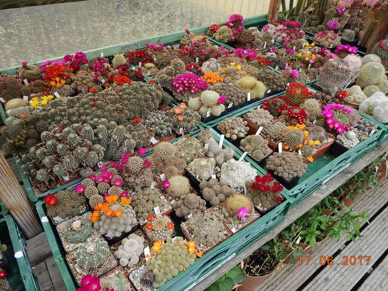 Cacti and Sukkulent in Köln, every day new flowers in the greenhouse Part 165 Bild1083