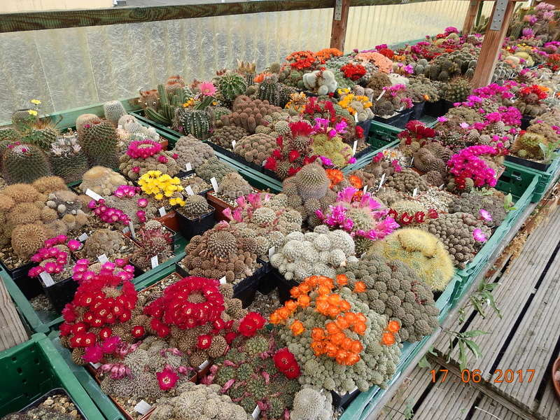 Cacti and Sukkulent in Köln, every day new flowers in the greenhouse Part 165 Bild1085