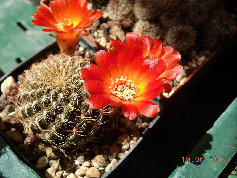 Cacti and Sukkulent in Köln, every day new flowers in the greenhouse Part 165 Bild1094