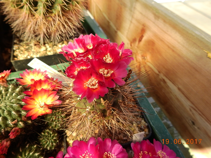 Cacti and Sukkulent in Köln, every day new flowers in the greenhouse Part 165 Bild1106