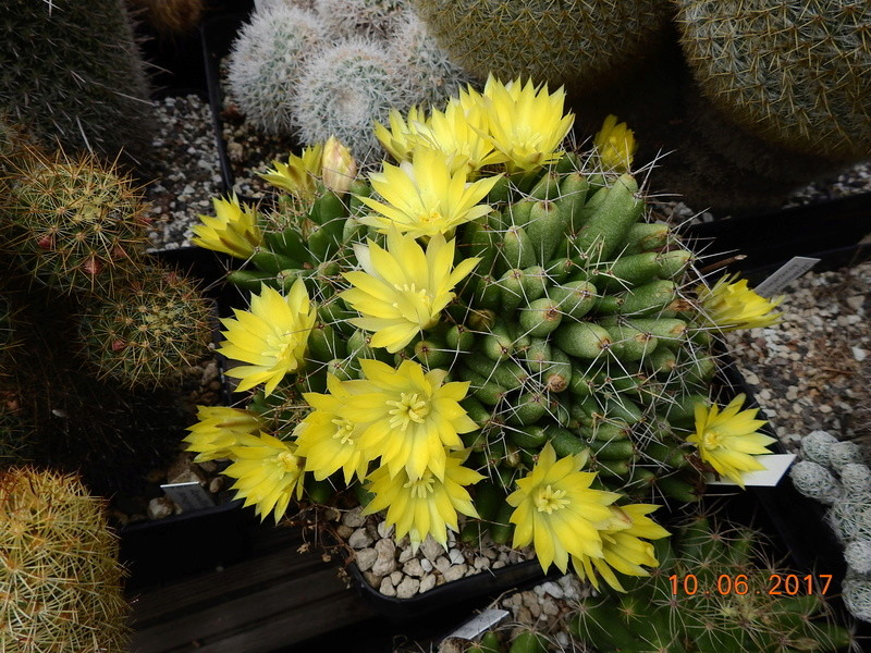 Cacti and Sukkulent in Köln, every day new flowers in the greenhouse Part 166 Bild1125