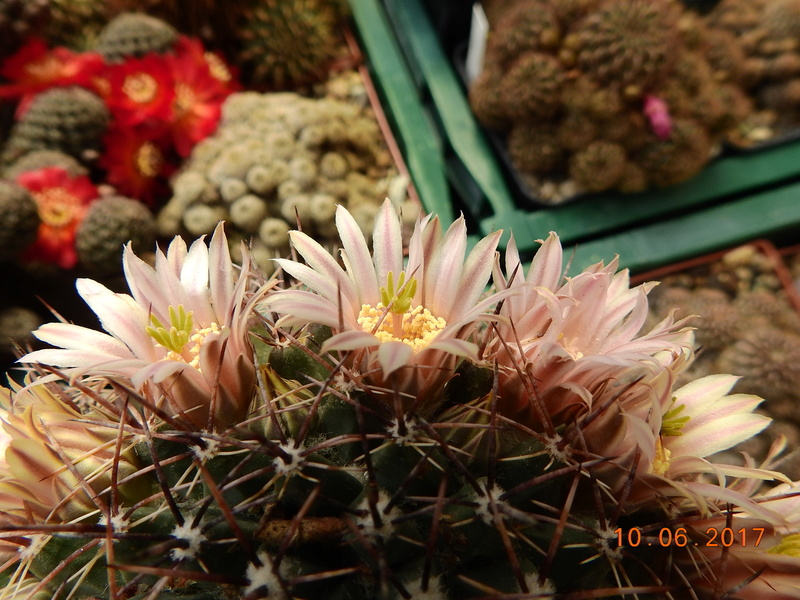 Cacti and Sukkulent in Köln, every day new flowers in the greenhouse Part 166 Bild1126