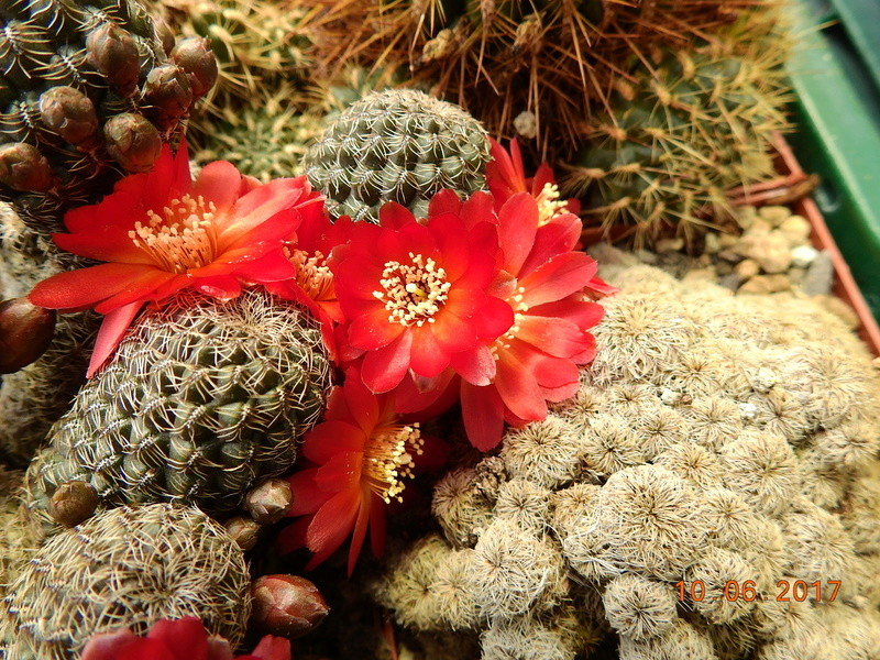 Cacti and Sukkulent in Köln, every day new flowers in the greenhouse Part 166 Bild1134