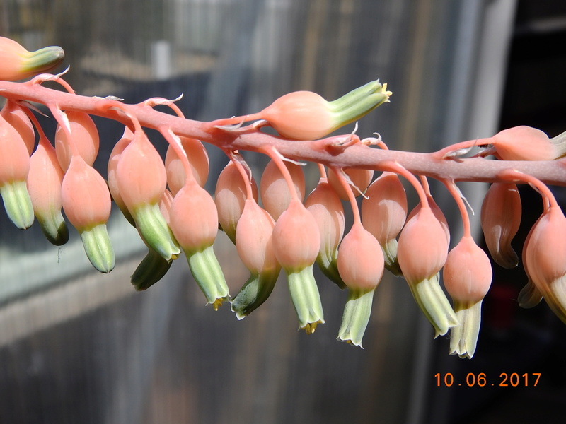 Cacti and Sukkulent in Köln, every day new flowers in the greenhouse Part 166 Bild1135