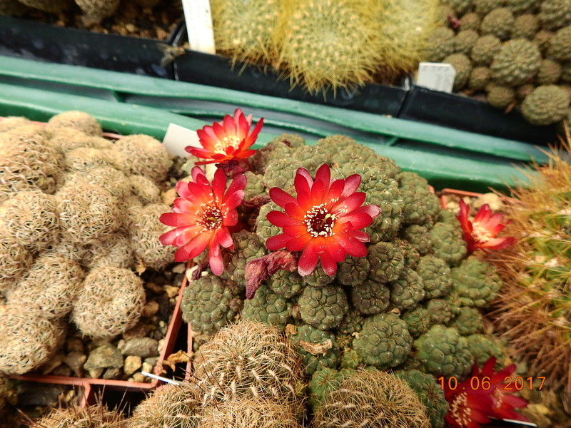 Cacti and Sukkulent in Köln, every day new flowers in the greenhouse Part 166 Bild1138