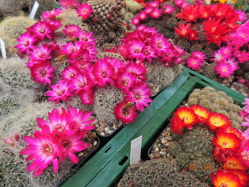 Cacti and Sukkulent in Köln, every day new flowers in the greenhouse Part 158 Bild_104