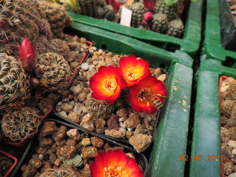 Cacti and Sukkulent in Köln, every day new flowers in the greenhouse Part 158 Bild_118