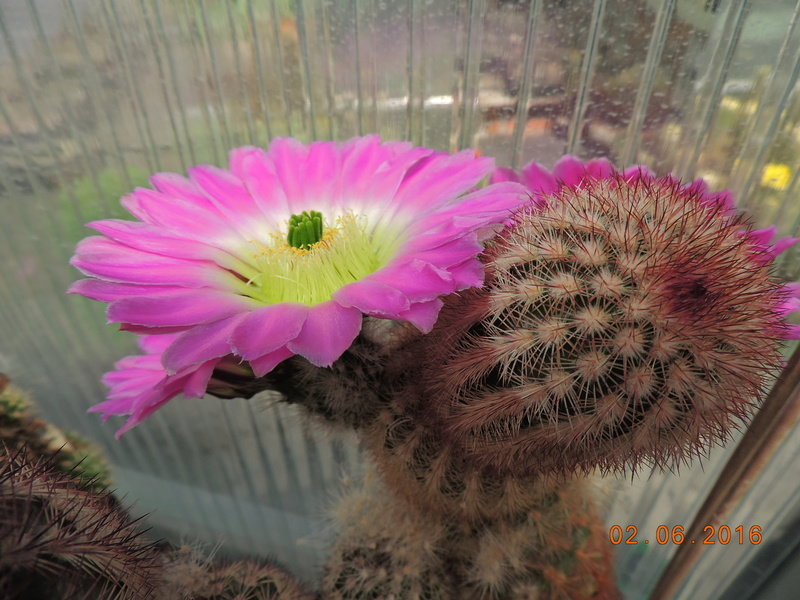Cacti and Sukkulent in Köln, every day new flowers in the greenhouse Part 158 Bild_122