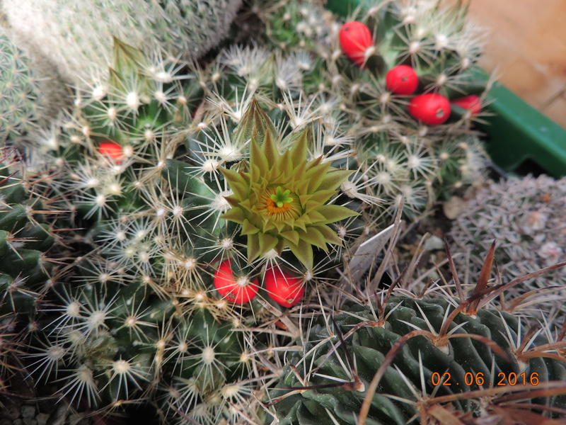 Cacti and Sukkulent in Köln, every day new flowers in the greenhouse Part 158 Bild_137