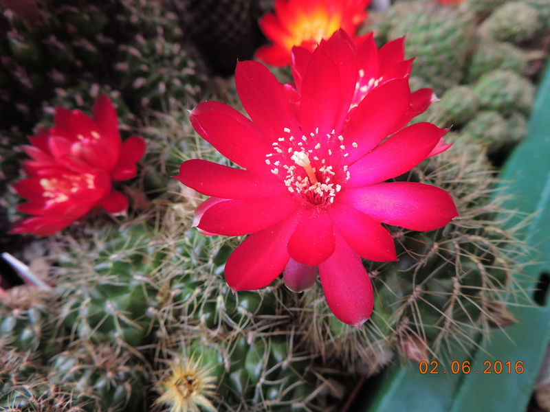 Cacti and Sukkulent in Köln, every day new flowers in the greenhouse Part 158 Bild_151