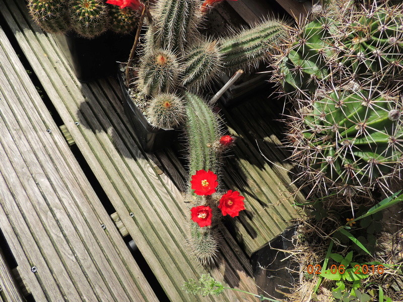 Cacti and Sukkulent in Köln, every day new flowers in the greenhouse Part 158 Bild_155