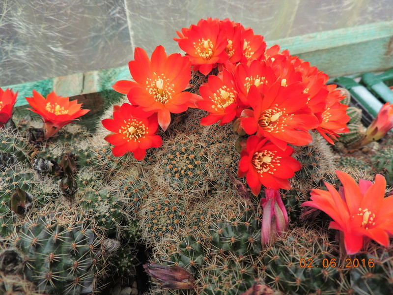 Cacti and Sukkulent in Köln, every day new flowers in the greenhouse Part 158 Bild_158
