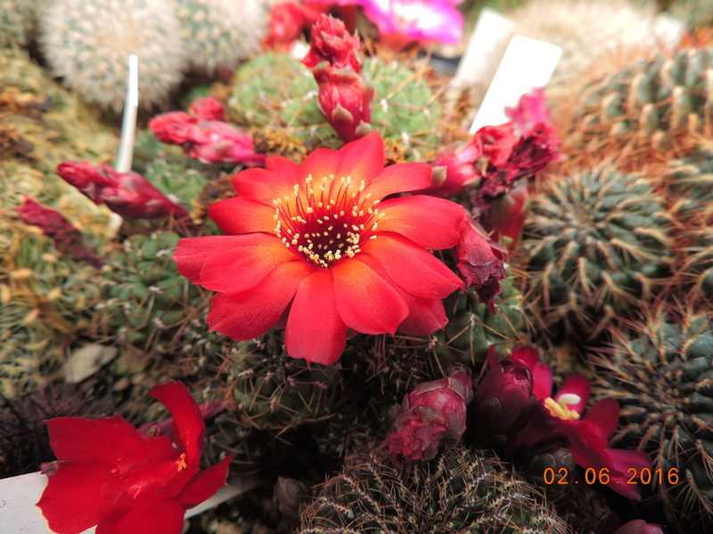Cacti and Sukkulent in Köln, every day new flowers in the greenhouse Part 158 Bild_162