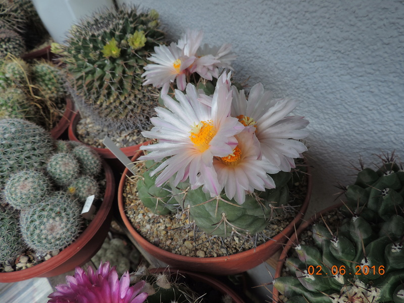 Cacti and Sukkulent in Köln, every day new flowers in the greenhouse Part 158 Bild_166