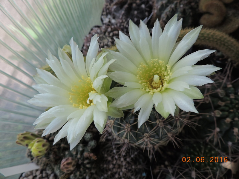 Cacti and Sukkulent in Köln, every day new flowers in the greenhouse Part 158 Bild_177