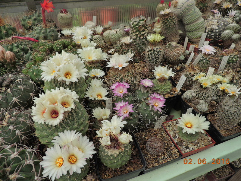 Cacti and Sukkulent in Köln, every day new flowers in the greenhouse Part 158 Bild_179