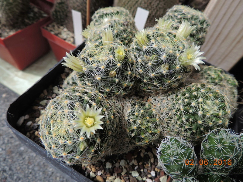 Cacti and Sukkulent in Köln, every day new flowers in the greenhouse Part 158 Bild_180