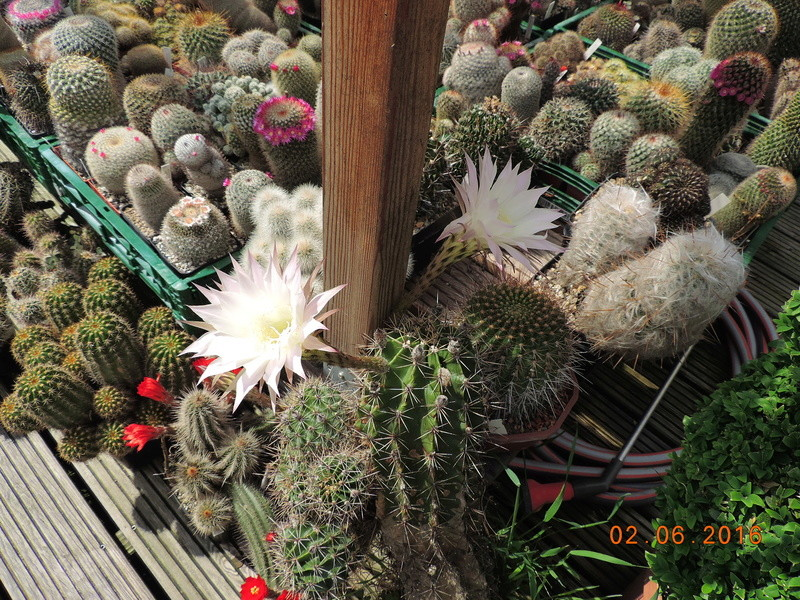 Cacti and Sukkulent in Köln, every day new flowers in the greenhouse Part 158 Bild_184