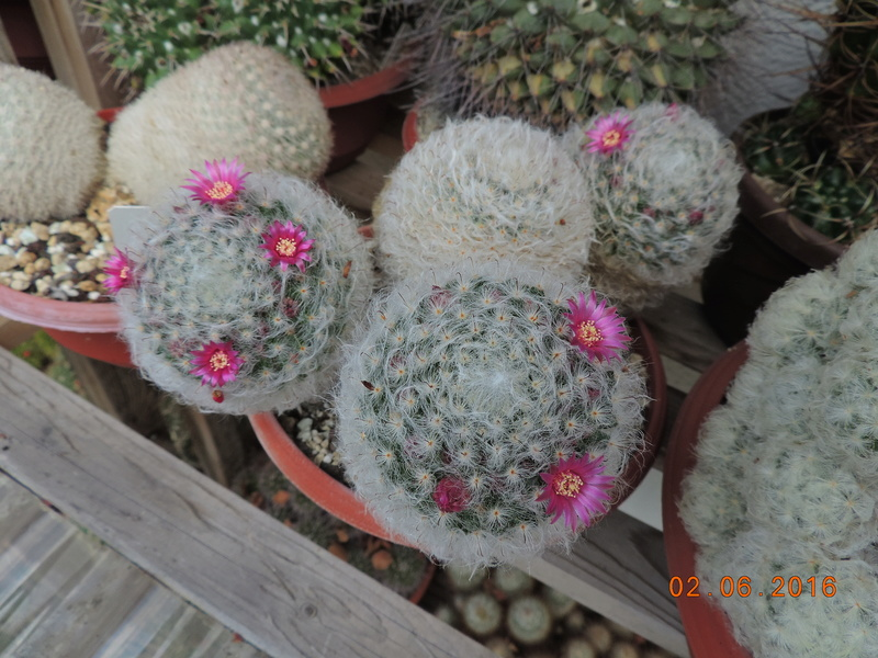 Cacti and Sukkulent in Köln, every day new flowers in the greenhouse Part 158 Bild_190