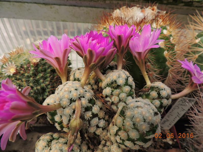 Cacti and Sukkulent in Köln, every day new flowers in the greenhouse Part 158 Bild_197
