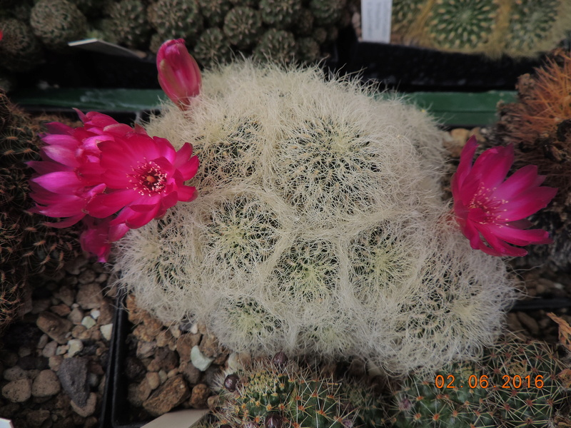 Cacti and Sukkulent in Köln, every day new flowers in the greenhouse Part 158 Bild_200