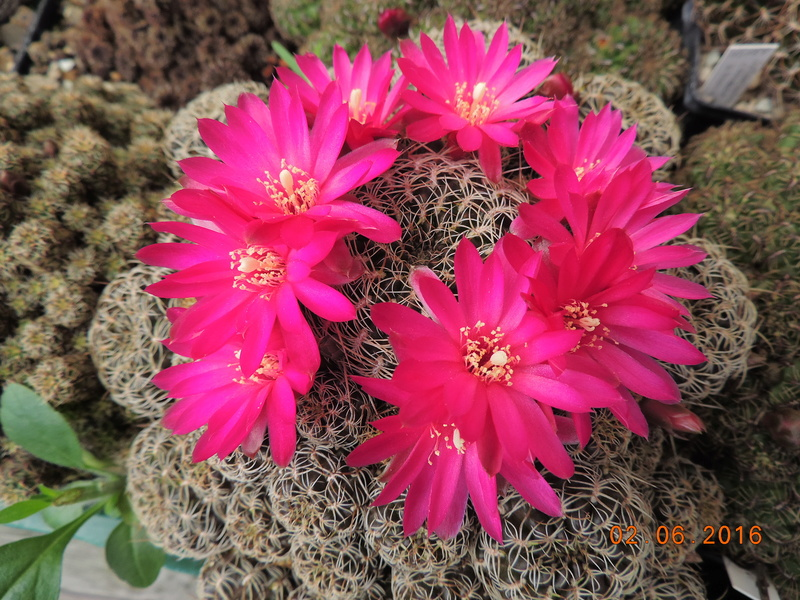 Cacti and Sukkulent in Köln, every day new flowers in the greenhouse Part 158 Bild_206