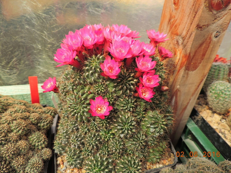 Cacti and Sukkulent in Köln, every day new flowers in the greenhouse Part 158 Bild_215