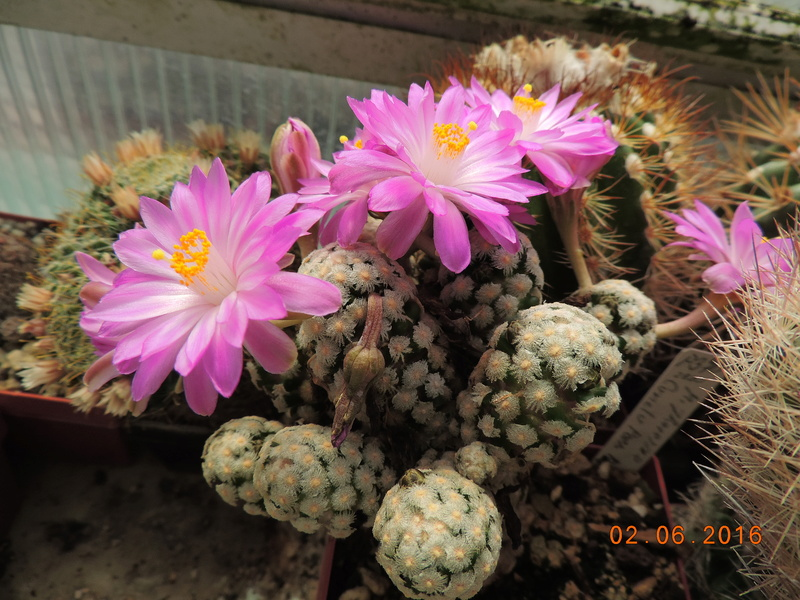 Cacti and Sukkulent in Köln, every day new flowers in the greenhouse Part 159 Bild_251