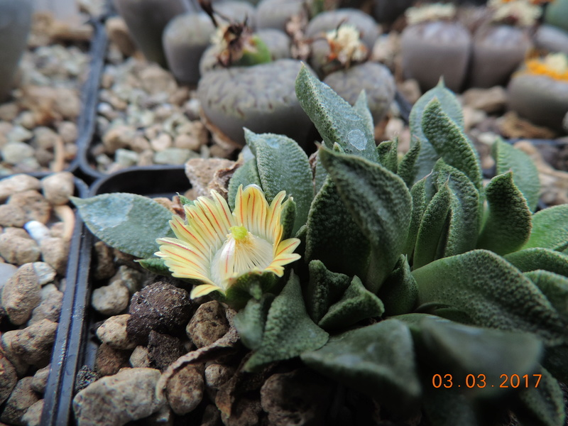 Cacti and Sukkulent in Köln, every day new flowers in the greenhouse Part 159 Bild_266