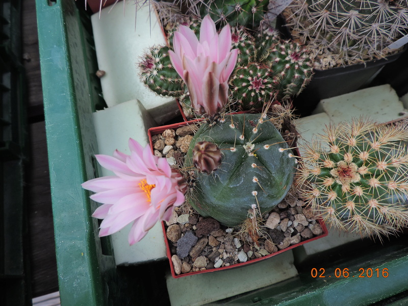 Cacti and Sukkulent in Köln, every day new flowers in the greenhouse Part 159 Bild_270