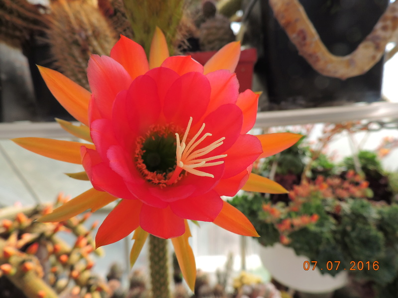 Cacti and Sukkulent in Köln, every day new flowers in the greenhouse Part 159 Bild_291