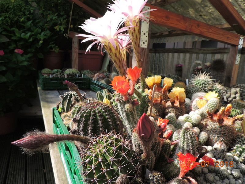 Cacti and Sukkulent in Köln, every day new flowers in the greenhouse Part 159 Bild_298