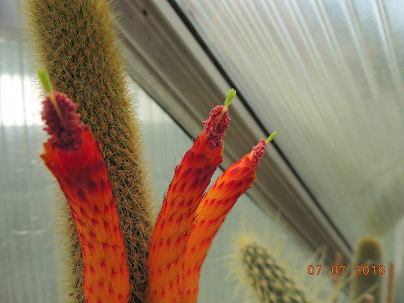 Cacti and Sukkulent in Köln, every day new flowers in the greenhouse Part 159 Bild_302