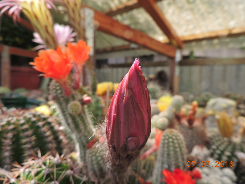 Cacti and Sukkulent in Köln, every day new flowers in the greenhouse Part 159 Bild_303