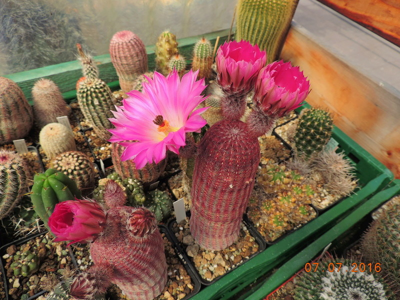 Cacti and Sukkulent in Köln, every day new flowers in the greenhouse Part 159 Bild_304