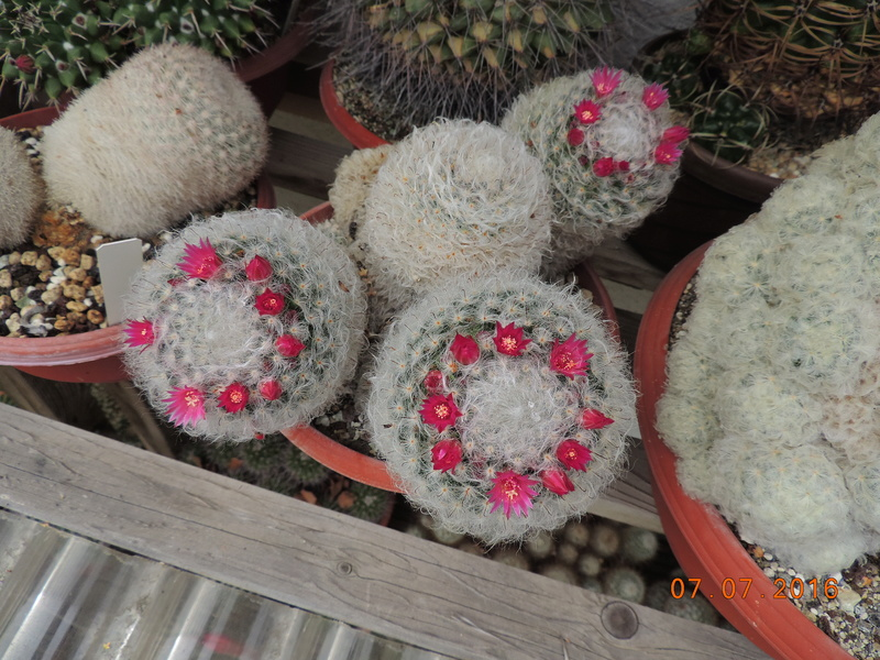 Cacti and Sukkulent in Köln, every day new flowers in the greenhouse Part 159 Bild_322